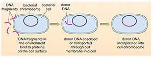 Understanding Antibiotic Resistance  2 3 Transformation - Openlearn - Open University
