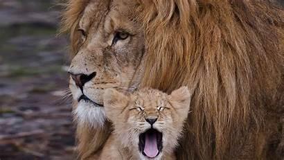 Lion Cub Cubs Wallpapers Animal Desktop Cutest