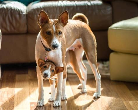 85 Best Images About Basenjis On Pinterest