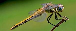 Dragonfly Pictures - Scarlet darter dragonfly (Crocothemis ...