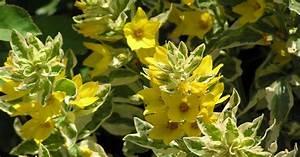 Feucht Werden Tipps : goldfelberich lysimachia punctata informationen tipps ~ Lizthompson.info Haus und Dekorationen