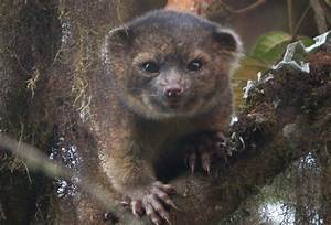 Carnivore Discovery Olinguito Looks Like Cross Between Cat