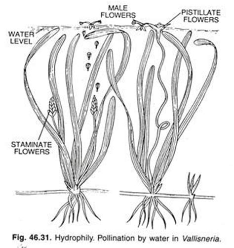 Diagram Of Water Flower by Modes Of Reproduction In Angiosperms With Diagrams Botany