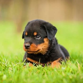 rottweiler breed information characteristics heath