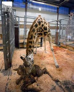 Giraffe born at Seattle zoo today The Seattle Times