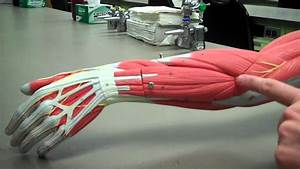 Muscles Of The Posterior Forearm Mp4