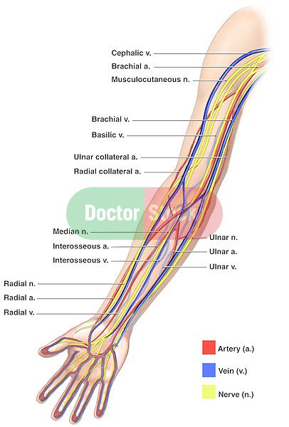 Diagram Of Arm Vessel by Anatomy Of The Nerves Arteries And Veins Of The Arm