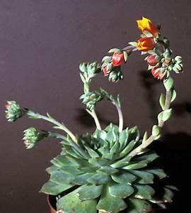 Sukkulenten Arten Bilder : echeveria ~ Lizthompson.info Haus und Dekorationen