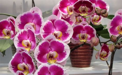 information of orchid flower orchids is an awesome flower fact about plant