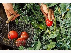 Comment Tuteurer Les Tomates : comment planter des tomates les bons gestes ~ Melissatoandfro.com Idées de Décoration