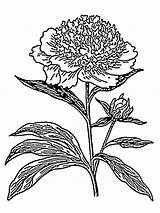 Peony Coloring Flower Pages Flowers Printable sketch template