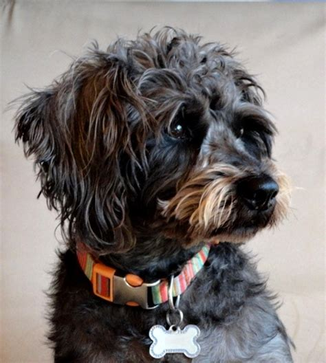 Schnoodle Dog