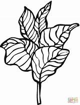 Lettuce Coloring Pages Printable sketch template