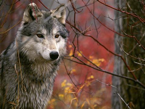 Wolf Spirit Totem ….. Symbolism!