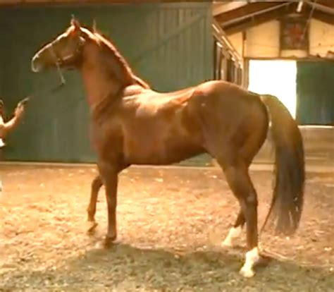 lucky pulpit horse chrome california wikipedia horses derby thoroughbred