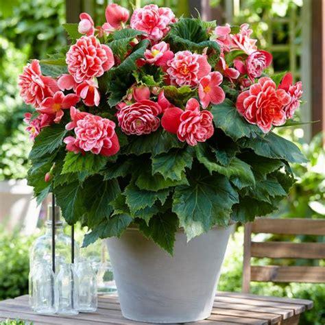 camelia blume kaufen begonie camellia kaufen bei g 228 rtner p 246 tschke