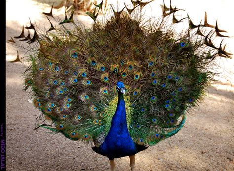 colorful peacock colorful peacock images