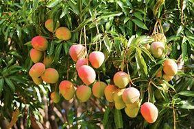 Resultado de imagen de arboles de mango