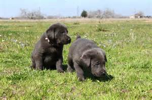 Silver Charcoal Lab Puppies for Sale