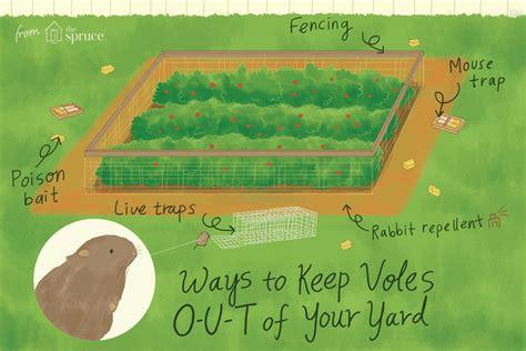 voles    yard
