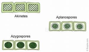 Biology for Beginners: What is Spirogyra?