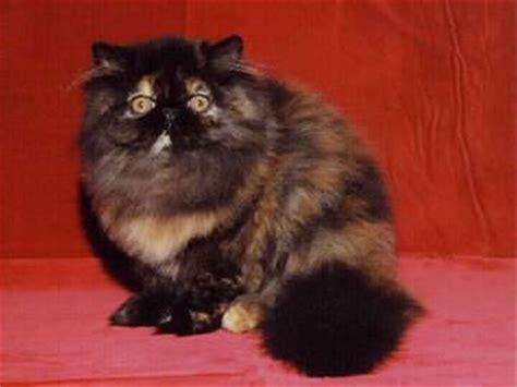 accoppiamento gatti persiani il persiano squama di tartaruga scheda completa di razza