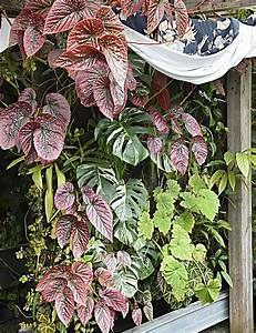 Vertikaler Garten Kaufen : seltene pflanzen und samen kaufen rare seed and plant ~ Lizthompson.info Haus und Dekorationen