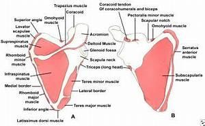 Scapula Fracture: Background, Anatomy, Etiology