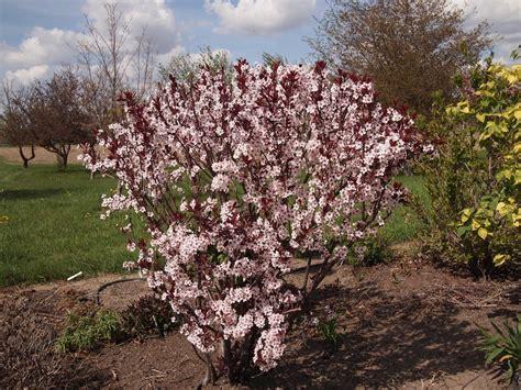 cherry tree with purple leaves plum leaf sand cherry bush growing purple leaf sand cherry plants