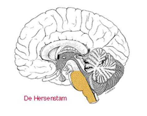 Doorsnede hersenen