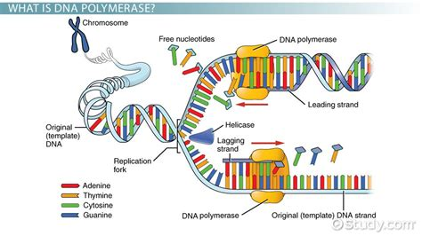 what is a template in biology dna polymerase definition function lesson transcript study