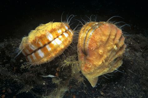 Bivalves, The Twin-shelled Mollusks
