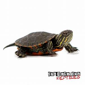 Western Painted Turtles For Sale - Underground Reptiles