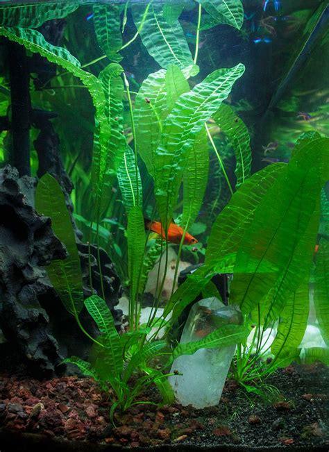 plante croissance rapide aquarium plantation aponogeton boivinianus