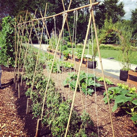 variations   string trellis  tomatoes bonnie plants
