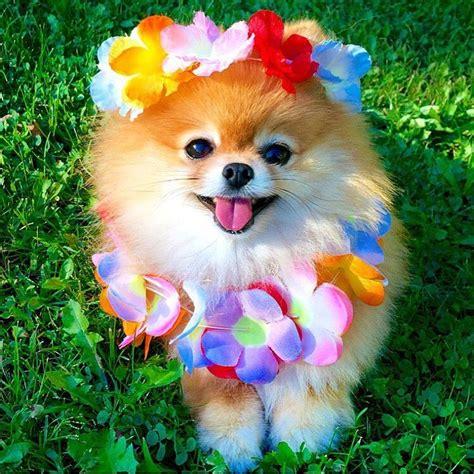 pomeranian images  pinterest doggies pom