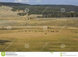 Bison Herd Roaming Hayden Valley In Yellowstone National ...