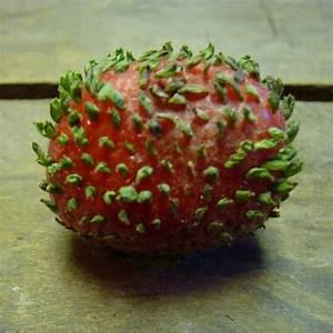 Erdbeeren Ableger Entfernen : erdbeerfrucht treibt bl tter aus kann man sie einpflanzen pflanzen erdbeeren ~ Frokenaadalensverden.com Haus und Dekorationen