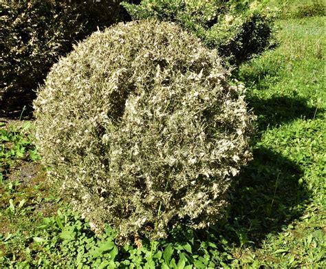 Raupen Am Buchsbaum by Buchsbaumz 252 Nsler Und Seine Bek 228 Mpfung