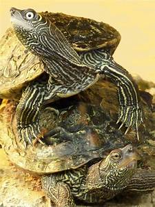 Mississippi map turtle - Wikipedia