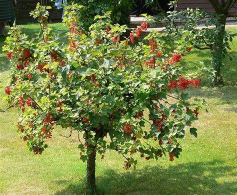 Garten Johannisbeeren Pflanzen by Johannisbeeren Hochstamm Pflanzen Johannisbeeren
