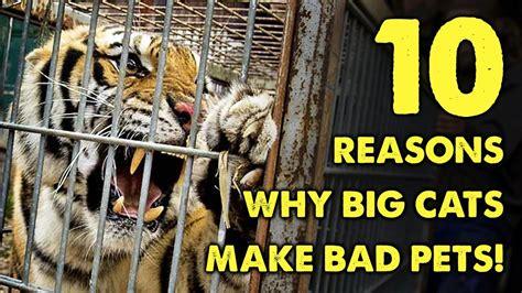 cats pets bad why reasons cheetah lion