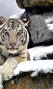 Free download Amur White Tiger Siberian Tiger [1024x768 ...