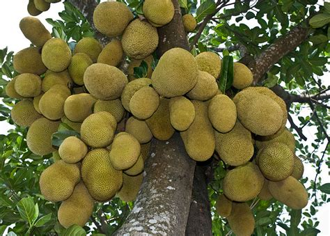 we love our bangladesh jackfruit kathal national fruit