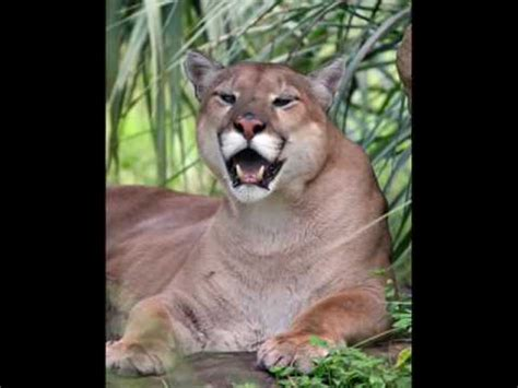 florida panther youtube