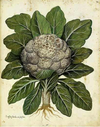 Cauliflower Botanical Illustration Domain Drawing Italian Vegetables
