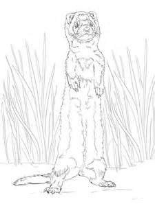 ferret standing  coloring page  printable coloring