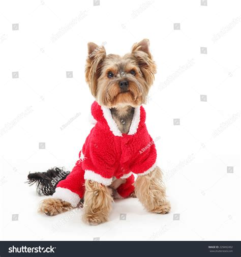 Terrier Dressed As Santa Claus Stock Photo Breed Terrier In The Year