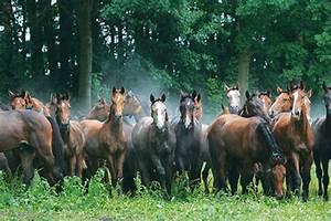 Herd Auf Englisch : s kums latvijas irnes zirgu audz t ju asoci cija ~ Orissabook.com Haus und Dekorationen