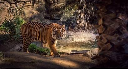 Tiger Waterfall Water Wild Cat Scary Siberian